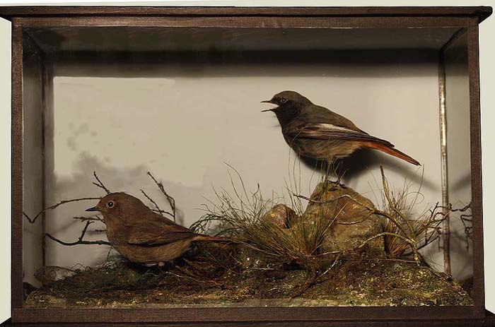 Black Redstarts Big[1].JPG